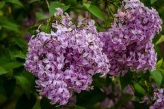 Blühende purpurrote lila Blumen Lizenzfreie Stockfotos