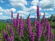 Blühende purpurrote Spitzen Stockfotos