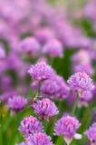 Blühende purpurrote Zeit der Birnenzwiebel im Frühjahr im Garten Stockfotos