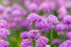 Blühende purpurrote Zeit der Birnenzwiebel im Frühjahr im Garten Lizenzfreies Stockbild