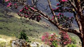 Blühende Rhododendren in den Bergen von Nepal stock footage
