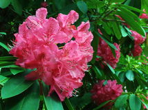 Blühende Rhododendronblume stockfotografie