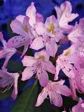Blühende rosa Azaleenblumen Stockfotos