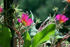 Blühende rosa Blumen Lizenzfreies Stockfoto
