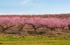 Blühende rosa Blumen der Pfirsiche Stockfoto