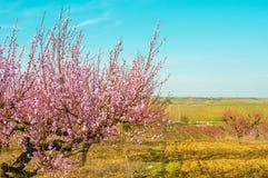 Blühende rosa Blumen der Pfirsiche Stockfotos