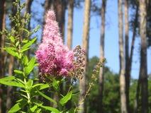 blühende rosa Blumen des Busches Stockfoto