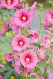 Blühende rosa Blumen-Stockrose Lizenzfreie Stockbilder