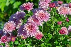 Blühende rosa Chrysanthemen im Garten lizenzfreie stockfotografie