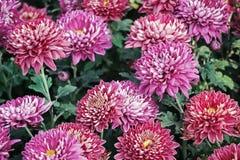 Blühende rosa Chrysanthemenblumen im Garten Stockfotos