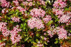 Blühende rosa Ixora-Blumen für Naturhintergrund Lizenzfreie Stockfotografie