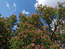 Blühende rosa Kastanien gegen den blau-bewölkten Himmel Lizenzfreies Stockbild