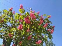 Blühende rosa Kastanien gegen den blauen Himmel in der Stadt Lizenzfreie Stockfotografie