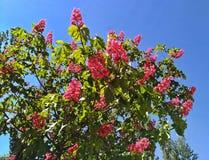 Blühende rosa Kastanien gegen den blauen Himmel in der Stadt Lizenzfreies Stockbild