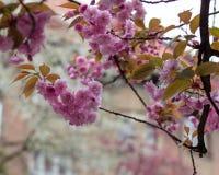 Blühende rosa Kirschblüte-Bäume auf den Straßen Lizenzfreie Stockfotografie