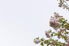 Blühende rosa Kirschblüten in der rechten Seite des Bildes Stockfoto