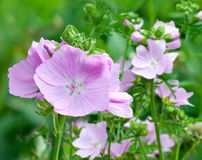 Blühende rosa Malven Lizenzfreies Stockbild
