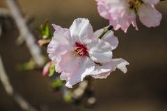 Blühende rosa Mandelbäume Stockbild