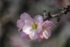 Blühende rosa Mandelbäume Stockfoto