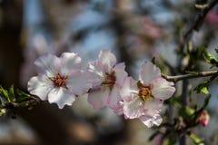 Blühende rosa Mandelbäume Lizenzfreies Stockfoto