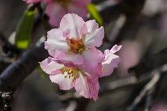 Blühende rosa Mandelbäume Lizenzfreies Stockbild