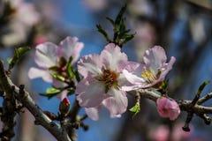Blühende rosa Mandelbäume Stockfotos