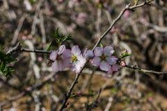 Blühende rosa Mandelbäume Stockbilder