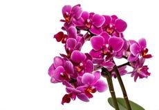 Blühende rosa Orchidee mit vielen Blumen auf einem weißen Hintergrund Stockfotos