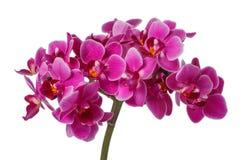 Blühende rosa Orchidee mit vielen Blumen auf einem weißen Hintergrund Lizenzfreies Stockbild