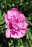 Blühende rosa Pfingstrosenblume Lizenzfreies Stockbild