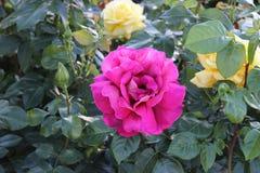 Blühende rosa rosafarbene Knospe im Garten lizenzfreies stockbild