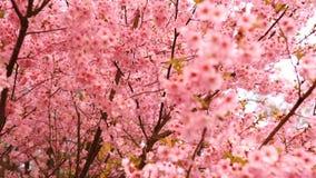 Blühende rosa sacura Bäume Kirschbaumblühen stock video