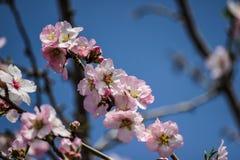 Blühende rosa und weiße Mandelbäume über blauem Himmel Stockbild