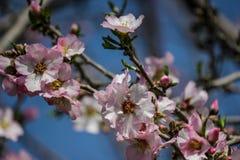Blühende rosa und weiße Mandelbäume über blauem Himmel Lizenzfreie Stockfotografie