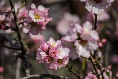 Blühende rosa und weiße Mandelbäume über blauem Himmel Lizenzfreies Stockfoto