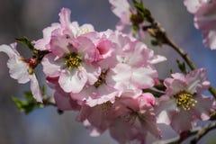 Blühende rosa und weiße Mandelbäume Stockbilder