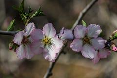 Blühende rosa und weiße Mandelbäume Lizenzfreie Stockfotografie