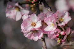 Blühende rosa und weiße Mandelbäume Stockfotos