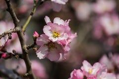 Blühende rosa und weiße Mandelbäume Lizenzfreie Stockfotos