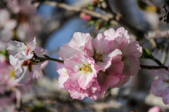 Blühende rosa und weiße Mandelbäume Stockfoto
