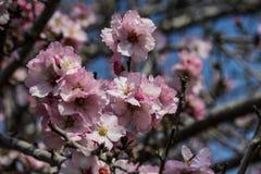 Blühende rosa und weiße Mandelbäume Lizenzfreies Stockfoto