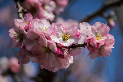 Blühende rosa und weiße Mandelbäume Stockbild