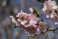 Blühende rosa und weiße Mandelbäume mit kleiner Biene Lizenzfreie Stockfotografie