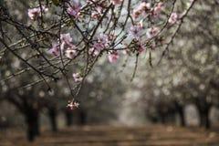 Blühende rosa und weiße Mandelbaumreihen Lizenzfreie Stockbilder