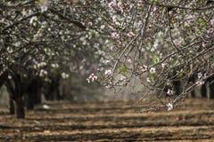 Blühende rosa und weiße Mandelbaumreihen Stockfoto