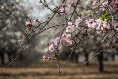 Blühende rosa und weiße Mandelbaumreihen Lizenzfreie Stockfotos