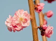 Blühende rosafarbene Blume des Pfirsiches Lizenzfreie Stockfotografie