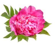 Blühende rosafarbene Blume einer Pfingstrose Stockfoto