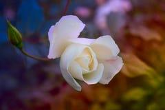 Blühende rosafarbene Blume im Garten stockfoto