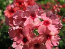 Blühende rosafarbene Blumen Stockbilder